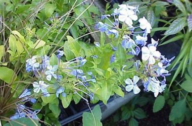 Plumbago auriculata Cultivar