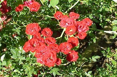Rosa Red Cascade [hyb]
