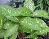 Sanchezia speciosa [nobilis cultivar?]