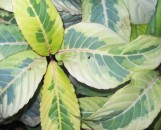 Sanchezia nobilis Singapore Gold