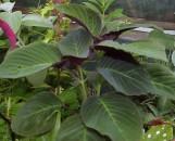 Sciaphyllum Amoenum