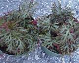 Selaginella umbrosa