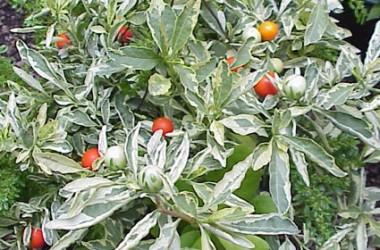 Solanum pseudocapsicum variegatum