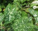 Xanthosoma maculata