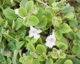 Episcia (alsobia) dianthiflora