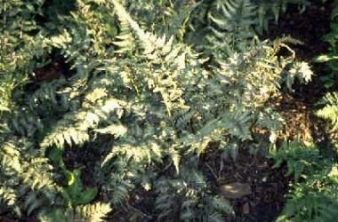 Athyrium goeringianum pictum