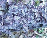 Coleus Black Lace