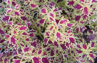 Coleus Dark Frills [India]