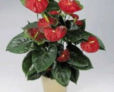 Anthurium andreanum Red Obake
