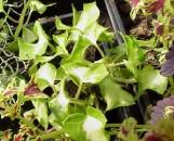 Senecio macroglossus medio-pictus
