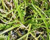 Carex nigra variegata