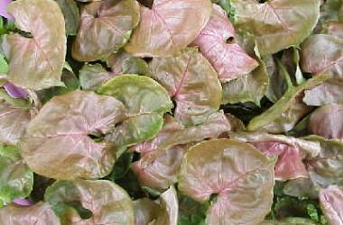 Syngonium podophyllum Red Plum Allusion
