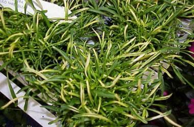 Alternanthera ficoidea bettzickiana aff aureo-nana