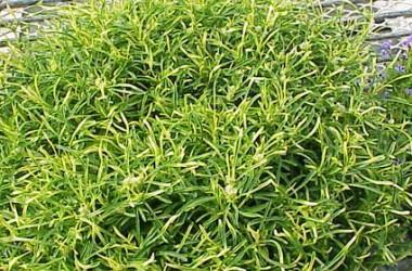 Alternanthera ficoidea bettzickiana Gold Thread