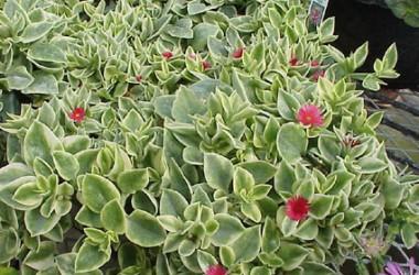 Aptenia cordifolia major variegata