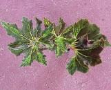 Begonia Hocking Razzmatazz [hyb]