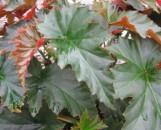 Begonia Irene Nuss [hyb]