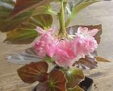 Begonia semperflorens Lady Francis