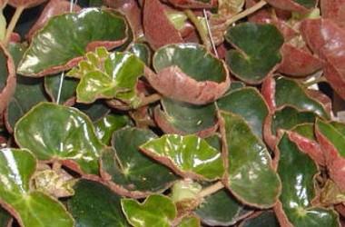 Begonia venepi