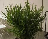 Homalocladium platycladum