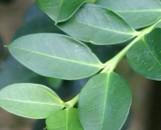 Carissa grandiflora horizontalis