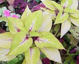 Coleus Pineapple Tart