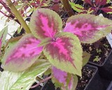Coleus Pink Heartthrob