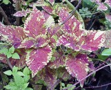 Coleus So Obvious