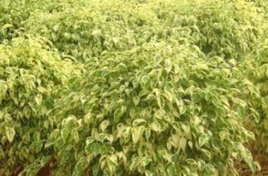 Ficus benjamina Golden King