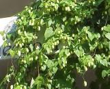 Humulus lupulus aureus