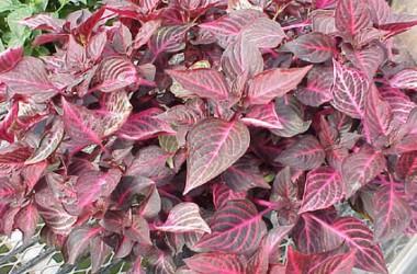 Iresine herbstii acuminata [versicolor]