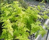 Jasminum officinale frojas Solid Gold