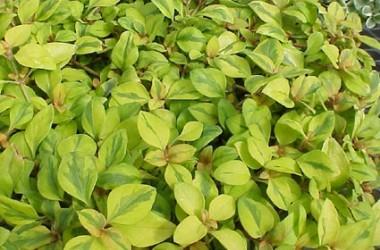 Lysimachia procumbens aurea