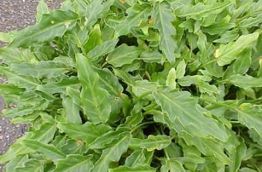 Philodendron Zena (Xanadu Dwarf Form)
