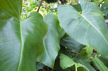 Philodendron davidsonii [talmancae]