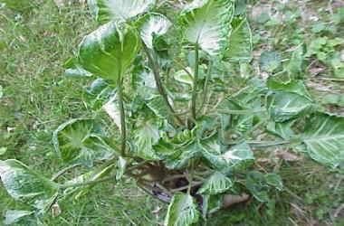 Syngonium podophyllum Shell Shocked