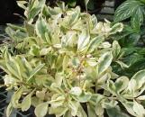 Talinum paniculatum patens (paniculatum) variegatum