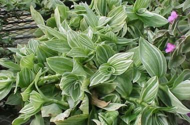 Tradescantia albiflora albo-vittata