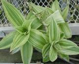 Tripogandra False bromeliad [hort]