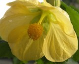 Abutilon hybridum Yellow Chimes