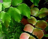 Adiantum macrophyllum Peaches And Cream