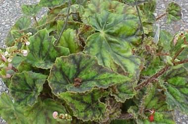 Begonia Hocking trocadero