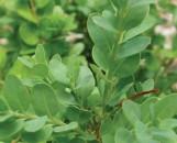 Buxus sinica insularis [Justin Brouwers]