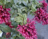 Cestrum newellii [hyb]