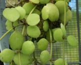 Dischidia formosana Maxium [formosa #1]