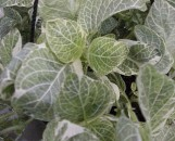 Fittonia verschaffeltii variegata