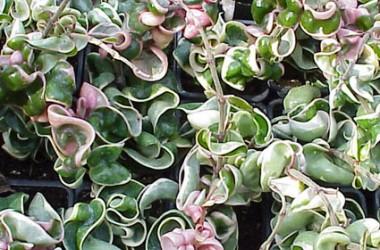 Hoya carnosa compacta marginata (regalis)