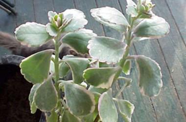Kalanchoe fedtschenkoi marginata