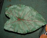 Medium Green Elephant Ear