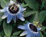 Passiflora Blue Bouquet (Boutique)
